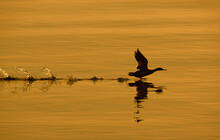 Duck Taking Off In Sunrise