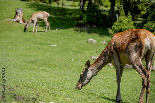 Deers grazing on meadow. Deer herd meadow grazing. Deer herd on deer farm. New born roe deer, wild spring nature.