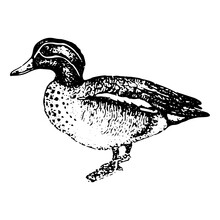 Vintage Engraving Of A Duck