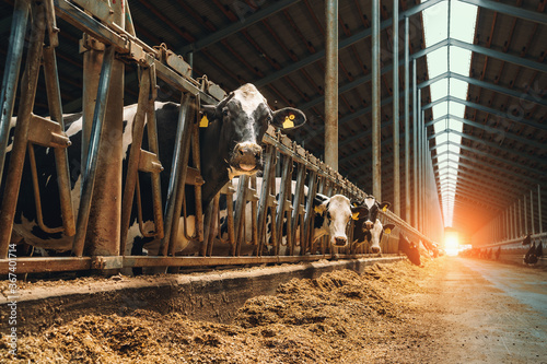 Obraz na płótnie Farm barn or cowshed with milking cows eating hay, dairy farm