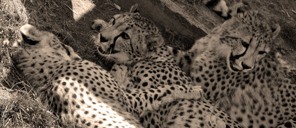 Fototapeta Cheetah's is a large-sized feline inhabiting most of Africa and part of the Middle East.