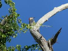Red-bellied Woodpecker Bird Pe...