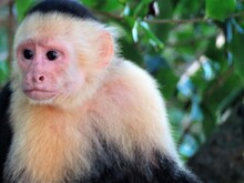 Close Up Of A White Faced Capu...