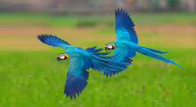 Blue And Gold Macaw Flying ,Be...