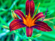 canvas print picture - blooms red-purple Lily in the garden on a blurred natural background, macro