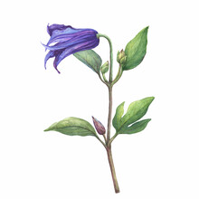 Branch With Violet Flower Of Garden Plant A Clematis Sizaia Ptitsa (Clematis Integrifolia). Watercolor Hand Drawn Painting Illustration Isolated On White Background.