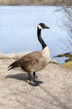 Canada Goose Standing Near A Lake