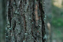 Close-up Of A Large Pine Trunk, Cracked Rough Thick Tree Bark. Pattern Abstraction, Forest