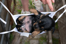 Jack Russell Terrier Puppy Lies In A Mask. To Rest On His Back