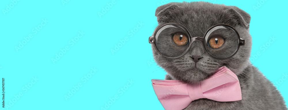 Scottish Fold cat wearing pink bowtie and eyeglasses, sitting