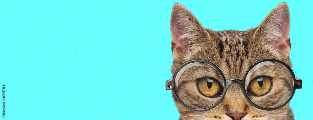 cute metis cat with eyeglasses and half of face exposed