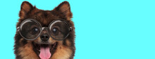Cute Excited Pomeranian Spitz Dog Teasing, Sticking Out His Tongue