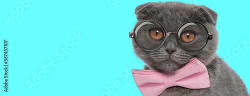 Obraz Scottish Fold cat wearing pink bowtie and eyeglasses, sitting - fototapety do salonu