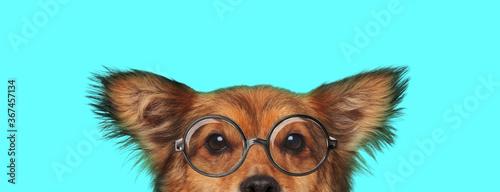 cute shy metis dog hiding his face from camera © Viorel Sima