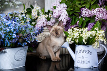 Burmese Chocolate Kitten And Lilac Flowers, Lily Of The Valley