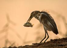 Indian  Pond Heron Catching Fi...
