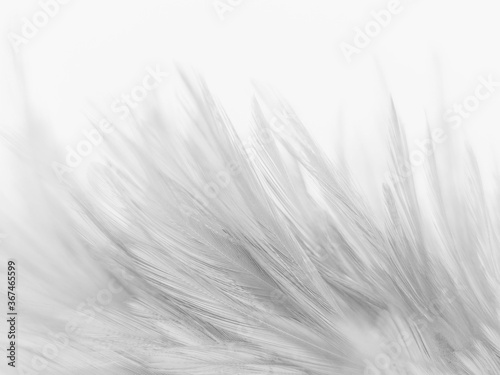 Beautiful abstract black feathers on white background and soft white feather texture on white pattern and dark background, gray feather background, black banners
