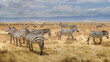herd of zebras in Tarangire National Park in Tanzania