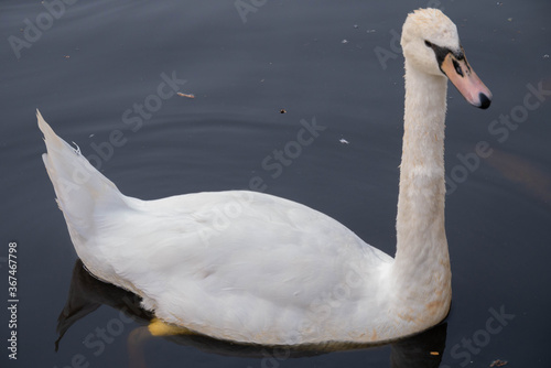 Fotomural A curious swan female swims up in silvery water lined with stone to the shore