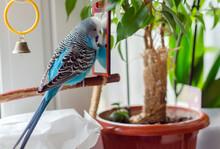 Budgie Male Blue Bird  Fluffy Playful Animal