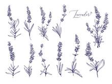 Black Line Lavender. Vector Ha...
