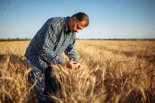Photo Man farmer checking the quality of wheat grain on the spikelets at the field