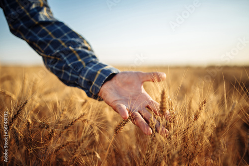 Man farmer checking the quality of wheat grain on the spikelets at the field Canvas Print