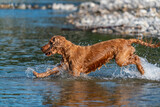 Fototapeta Tęcza - Puppy young dog English cocker spaniel while running in the water