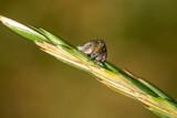 Fototapeta Tęcza - grass flea macro on a spike