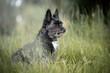 Little Cairn Terrier mix sitting in grass