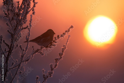 Small Common redpoll (bird) looking at sunset during a cold and harsh winter day Wallpaper Mural