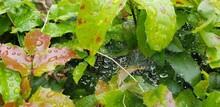 Closeup Shot Of Green Oregon G...