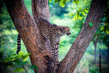 A Cheetah In A Tree At The Hen...