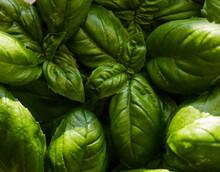 Closeup Basil. Green Fresh Bas...