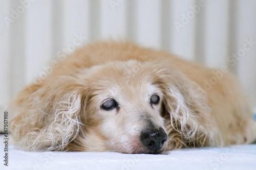 Fotografie, Obraz 眠る18歳の老犬