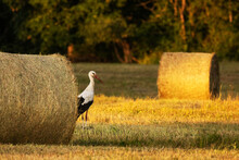 White Stork In The Middle Of Hay Balls In Estonian Countryside