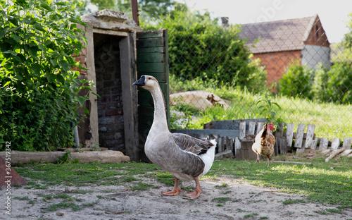 fowl drob wies village cottage farm farma zwierzeta wiejskie 鶏 poultry goose