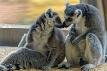 Ring Tailed Lemur Catta Kissing