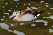 Brown Patterned Duck