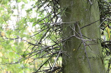 Closeup Gleditsia Triacanthos Know As Honey Locust With Blurred Background In Park