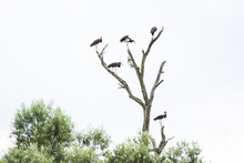 A Large Black Cormorant In The...