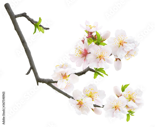 Leinwand Poster Isolated blooming almond