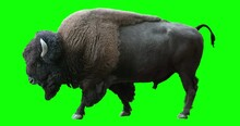 Isolated American Bison Cyclical Walking. Can Be Used In Real Coloring, And As A Silhouette. Green Screen.