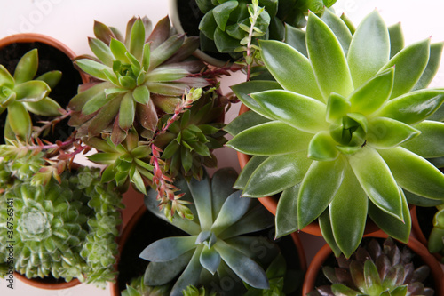 Fotomural Many different echeverias on white background, flat lay
