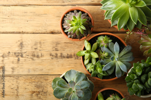 Cuadros en Lienzo Many different echeverias on wooden table, flat lay with space for text