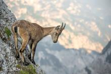 Young Alpine Ibex (Capra Ibex)...