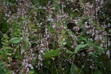 Flowers Of A Greater Dodder, Cuscuta Europaea, A Parasitic Plant From Europe.