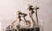 Growing Magic Mushrooms At Home, Legalizing Psilocybin Mushrooms In The World