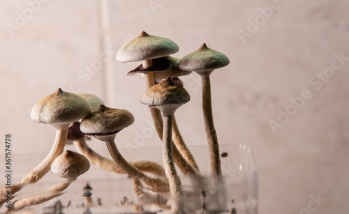 professional growing of psilocybin mushrooms in America Canvas