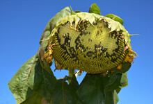 Damaged By Birds Sunflower Head Is A Sign To Protect Sunflower Crop From Bird Pests, House Sparrows From Eating Sunflower Seeds.